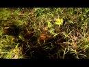 Биотоп змееголова Channa bankanensis. Малайзия