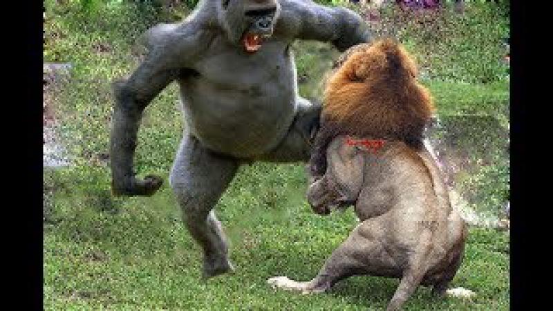 Sư tử vs Baboon vs Lion ➚ Animals Sudden attack chimpanzees Lion Leopard Gorilla