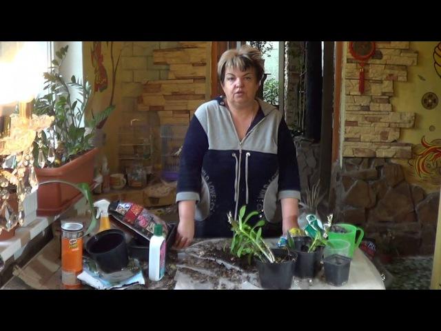 Дендробиум И Его Гибриды. Эпифитные Орхидеи. Как я Пересаживаю Дендробиум