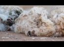 Goats Thrown Cut Killed for Mohair Help Them Now