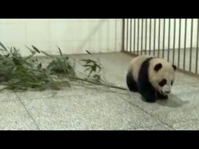 Giant panda cubs make their debut in kindergarten