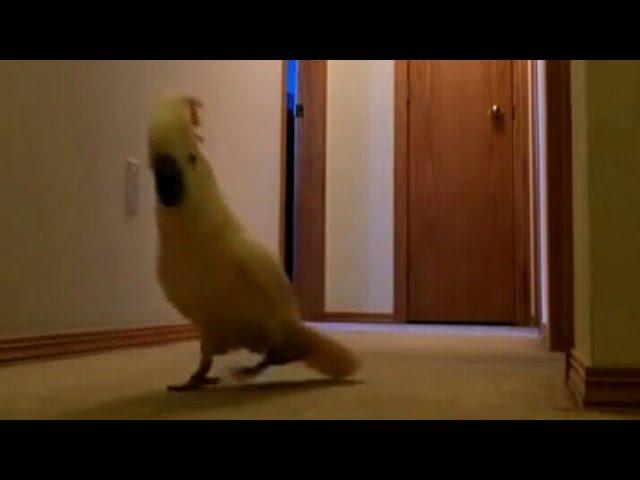 Попугай какаду ищет Наташу в коридоре | Наташа ты где (СМОТРЕТЬ с СУБТИТРАМИ)