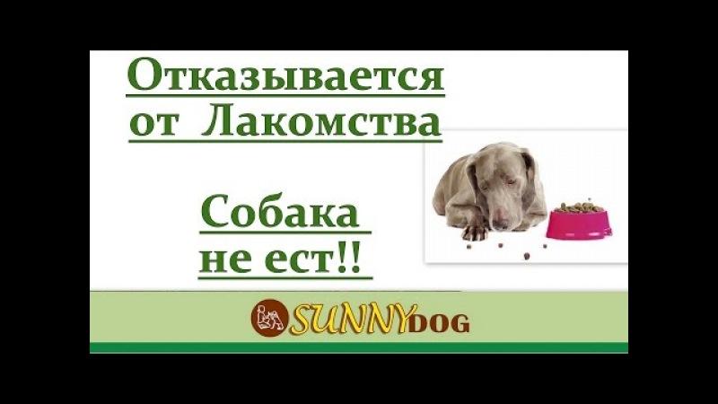 Собака плохо ест во время дрессировки? отказывается от лакомства?