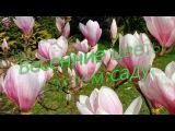 Весенние цветы в моем саду.