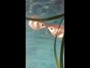 Мои рыбки цилуются