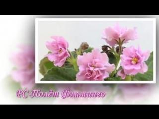 Новые сорта фиалок Светланы Репкиной. РС 2017.
