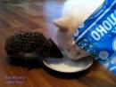 Кот и ёжик пьют из одной миски молоко.