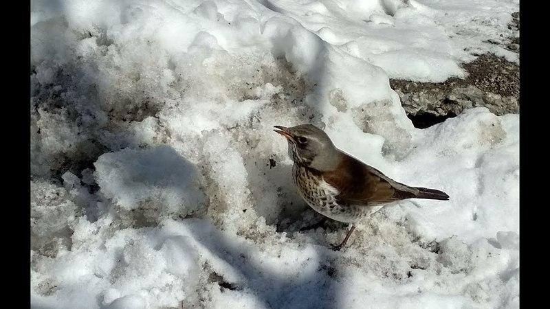 Любительская орнитология. Птицы, каких видим рядом. Голуби, утки, стрижи, свиристель и другое