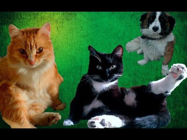 Знакомьтесь это мои питомцы . ( Кошки - Гоша , Алиса , Собака - Чак ) .