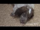 Как кормить щенка؟؟؟ Русский охотничий спаниель РОЙС 2 месяца