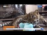 Детёныша леопарда выходил сотрудник передвижного зоопарка в Ессентуках
