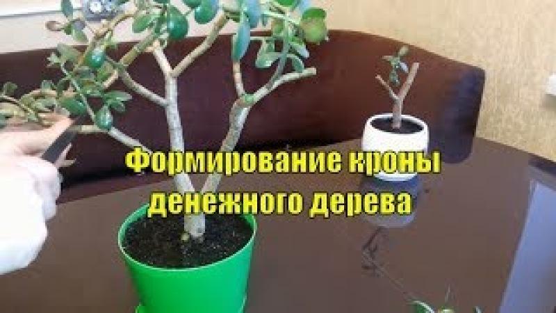Денежное дерево Крассула Толстянка Формирование кроны Размножение Мой опыт Часть 2