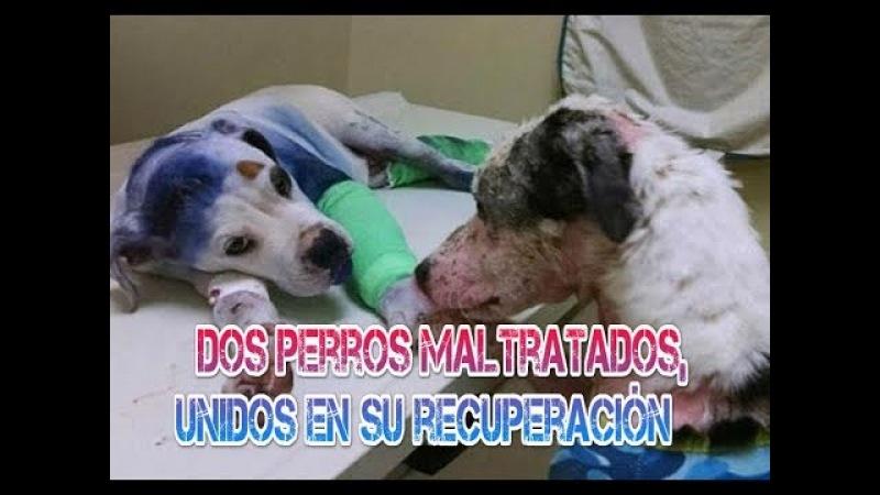 Dos perros maltratados, unidos en su recuperación