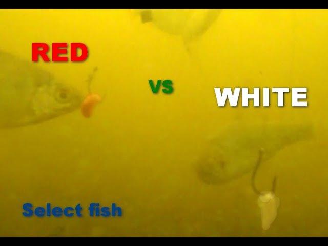 Подводная съемка.На какой опарыш интересней для рыбы КРАСНЫЙ или БЕЛЫЙ.Рыбалка.