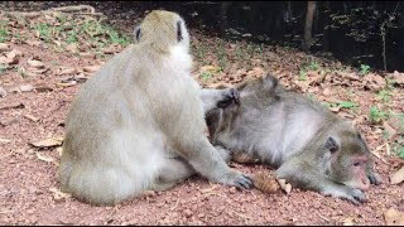 Old Male Monkey and Old Female Monkey, Monkeys 1080 Tube BBC