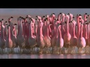 ANDEAN FLAMINGO MATING DANCE Produce