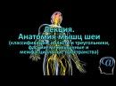 Анатомия мышц шеи Фасции шеи Треугольники шеи Лекция