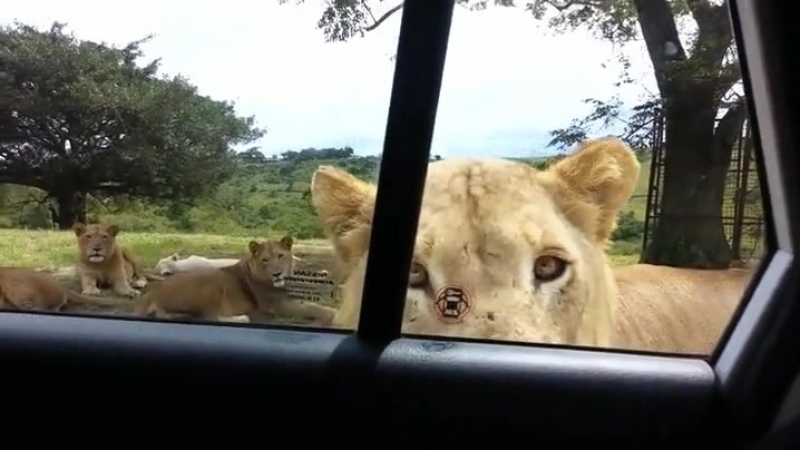 Добрые львы