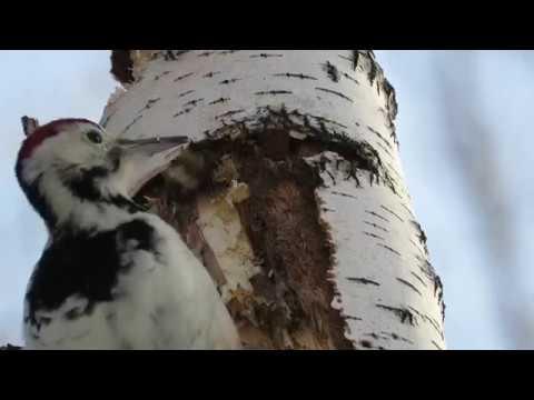 Замедленная съемка как дятел долбит дерево woodpecker breaks a tree in slow mo