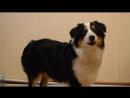 Наша поющая собака