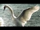 Песня Лебединая верность