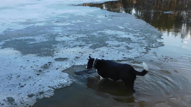 спасение пенька)) учим собаку
