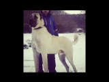 Kangal VS Alabai What's most beautiful and best watchdogs__ ( 720 X 1280 ).mp4