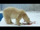 белый медведь ест