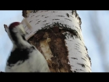 Дятел долбит дерево.Замедленная съемка.