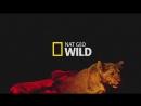 Праздничный ужин для львов I National Geographic