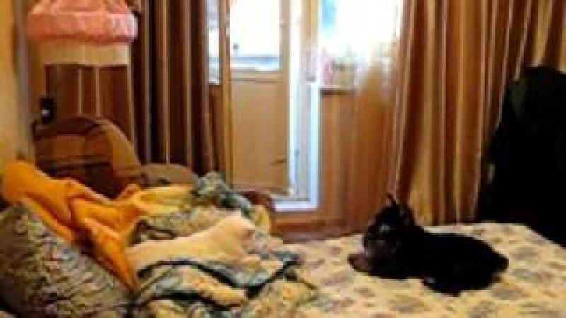 Цвергшнауцер и кошка (прикол на 46 секе)