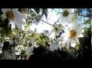 Ромашковое дерево самые красивые цветущие деревья и кустарники в мире Испания 12 12 2017