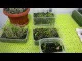 Зелень спустя 14 дней, после посадки (Лук,Салат,Петрушка,Укроп),