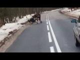 Олень отбивается от собак на Куршской косе