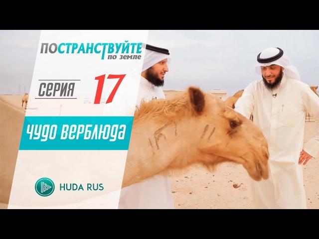 Неужели они не видят как созданы верблюды (88\17) Постранствуйте по земле