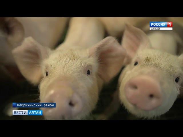 В Ребрихинском районе крупнейший свинокомплекс выходит на проектную мощность