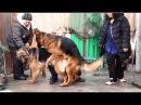 Зэфа и Райд Ждём щенков Немецкой овчарки German Shepherds Zefa and Ryde