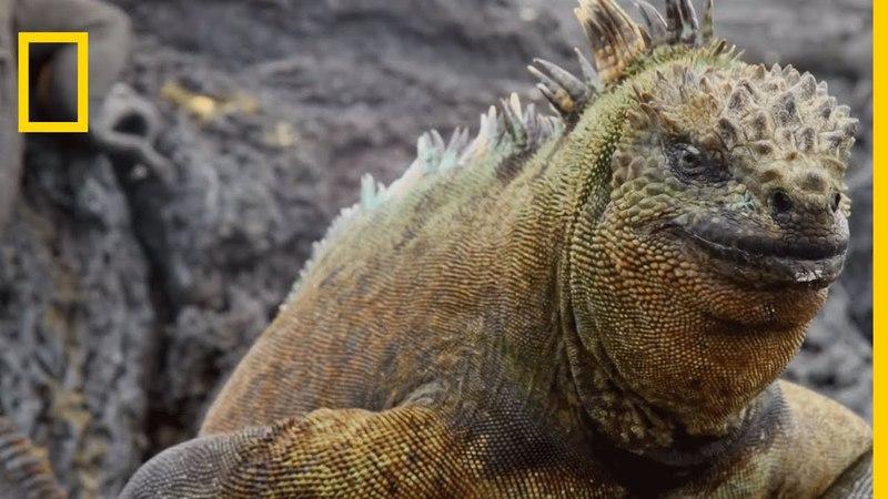 L'iguane marin, seul lézard en mer