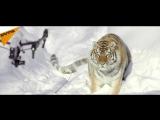 Amursti tygri