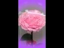 Вечная Роза под Куполом