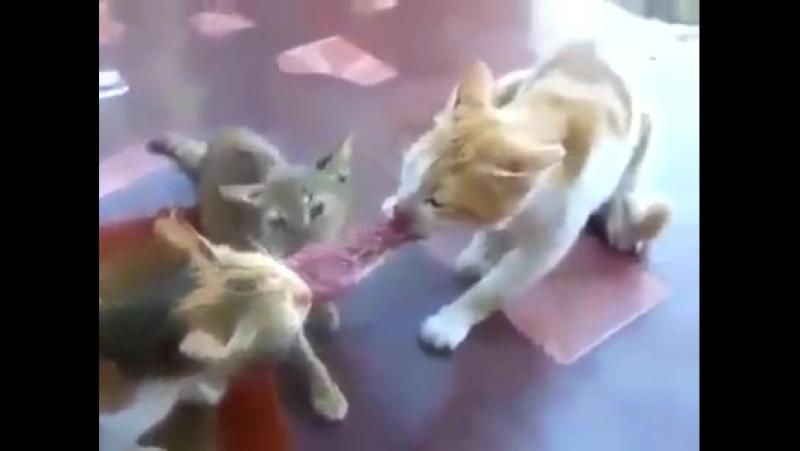 Кто умней? / smart ass cat)