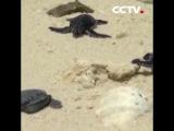 Новорожденные морские черепашки в городе Саньша