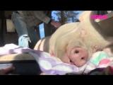 Свинья тащится от того, что ей почесывают спинку