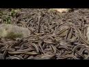 Самый опасный остров на планете Змеиный остров КЕЙМАДА-ГРАНДИ