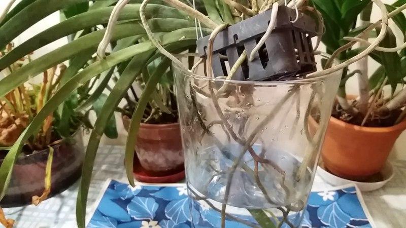 Орхидея Ванда. Уход за Вандой в стеклянной вазе.