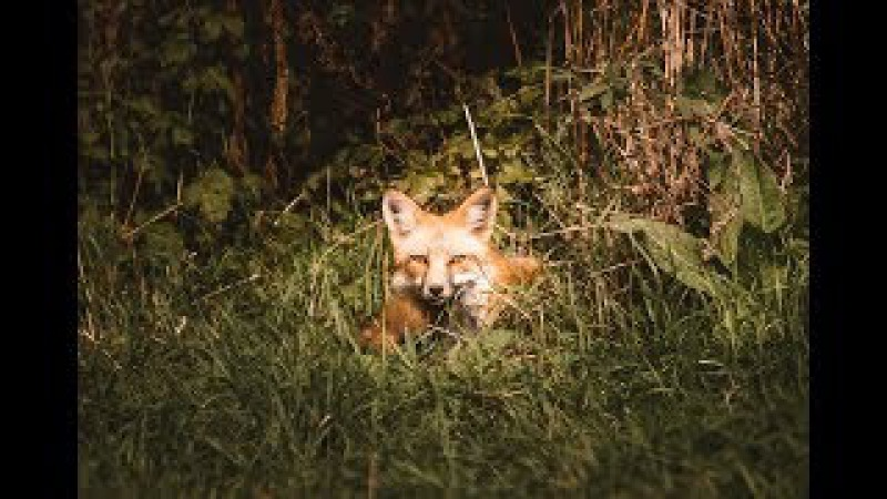 Photographing A Red Tail Fox: A How to guide to wildlife photography