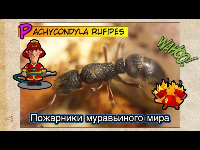 Пожарники муравьиного мира Обзор Pachycondyla rufipes