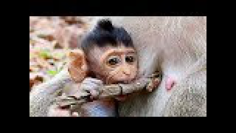 Lovely Baby Monkey Playing - Baby Monkeys Never Lose Cute