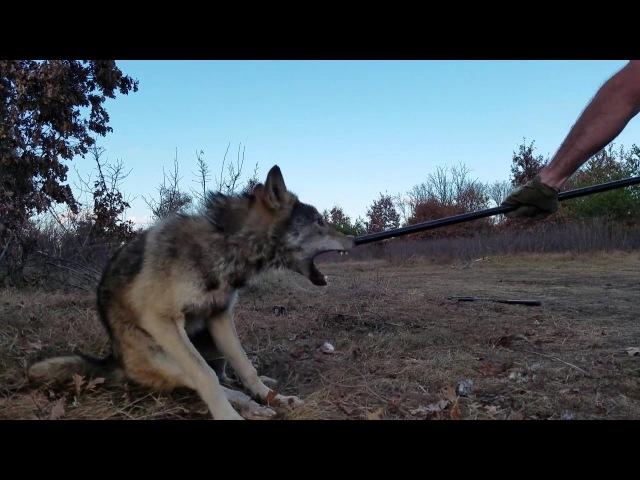 Wolf Release 2016 HD