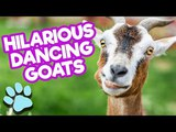Hilarious Dancing Jumping Goats Funny Goat Compilation #thatpetlife